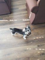 Yorkshire Terrier Puppies for sale in Marietta, GA 30067, USA. price: NA