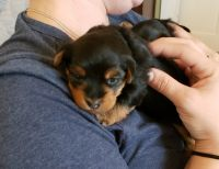 Yorkshire Terrier Puppies for sale in Greenville, NC, USA. price: NA
