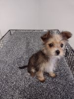 Yorkshire Terrier Puppies for sale in Mechanicsville, VA, USA. price: NA