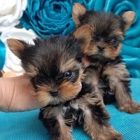 Yorkshire Terrier Puppies for sale in Boston, MA, USA. price: NA