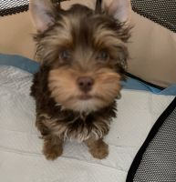 Yorkshire Terrier Puppies for sale in Atlanta, GA, USA. price: NA