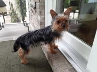Yorkshire Terrier Puppies for sale in Lexington, KY, USA. price: NA
