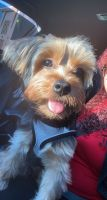 Yorkshire Terrier Puppies for sale in Elizabeth, NJ, USA. price: NA