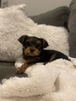 Yorkshire Terrier Puppies for sale in Orland Park, IL, USA. price: NA