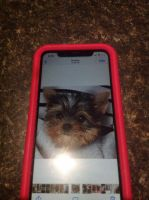 Yorkshire Terrier Puppies for sale in Melrose Park, IL, USA. price: NA