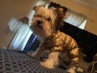 Yorkshire Terrier Puppies for sale in Omaha, NE, USA. price: NA