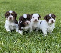 Yorkshire Terrier Puppies for sale in Montgomery, TX 77316, USA. price: NA