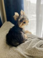Yorkshire Terrier Puppies for sale in Allentown, PA, USA. price: NA