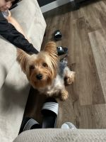 Yorkshire Terrier Puppies for sale in Plainfield, IL 60544, USA. price: NA