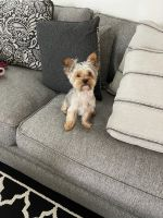 Yorkshire Terrier Puppies for sale in Katy, TX 77449, USA. price: NA