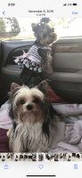 Yorkshire Terrier Puppies for sale in Fort Myers, FL, USA. price: NA