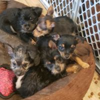 Yorkshire Terrier Puppies for sale in Bristol, PA 19007, USA. price: NA