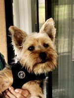 Yorkshire Terrier Puppies for sale in New Port Richey, FL, USA. price: NA