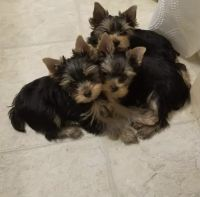 Yorkshire Terrier Puppies for sale in Toms River, NJ, USA. price: NA