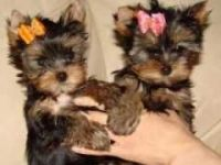 Yorkshire Terrier Puppies for sale in Los Angeles County, CA, USA. price: NA