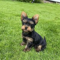 Yorkshire Terrier Puppies for sale in Alabaster, AL, USA. price: NA