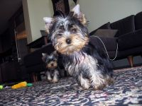 Yorkshire Terrier Puppies for sale in Aspen, CO 81611, USA. price: NA