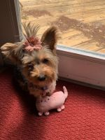 Yorkshire Terrier Puppies for sale in Solomons, MD, USA. price: NA