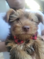 Yorkshire Terrier Puppies for sale in Fresno, CA, USA. price: NA