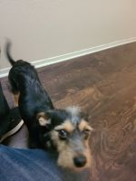 Yorkshire Terrier Puppies for sale in Odessa, TX, USA. price: NA