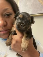 Yorkshire Terrier Puppies for sale in O'Fallon, MO 63366, USA. price: NA