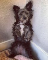Yorkshire Terrier Puppies for sale in Alameda, CA, USA. price: NA