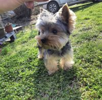 Yorkshire Terrier Puppies for sale in Los Angeles, CA 90003, USA. price: NA