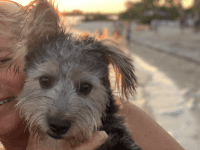 Yorkshire Terrier Puppies for sale in Rochester Hills, MI, USA. price: NA
