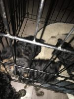Yorkshire Terrier Puppies for sale in Ishwana Trail, Frederic Township, MI 49733, USA. price: NA