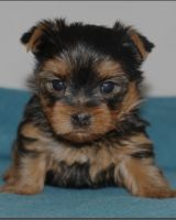 Yorkshire Terrier Puppies for sale in Victoria, TX, USA. price: NA