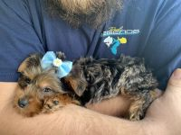 Yorkshire Terrier Puppies for sale in Gobles, MI 49055, USA. price: NA