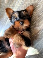 Yorkshire Terrier Puppies for sale in Chino Hills, CA, USA. price: NA