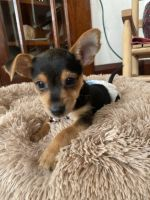 Yorkshire Terrier Puppies for sale in Watertown, WI, USA. price: NA