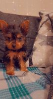 Yorkshire Terrier Puppies for sale in Columbia, MD, USA. price: NA