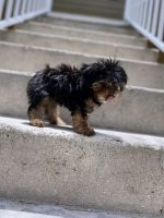 Yorkshire Terrier Puppies for sale in Fort Lauderdale, FL 33351, USA. price: NA