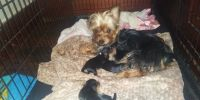 Yorkshire Terrier Puppies for sale in Milwaukee, WI, USA. price: NA