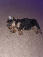 Yorkshire Terrier Puppies for sale in Salem, MA 01970, USA. price: NA