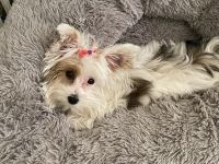 Yorkshire Terrier Puppies for sale in Valley Stream, NY, USA. price: NA