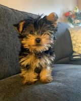 Yorkshire Terrier Puppies for sale in Ohio City, Cleveland, OH, USA. price: NA