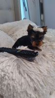 Yorkshire Terrier Puppies for sale in Gerard Dou St, California 92596, USA. price: NA