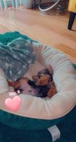 Yorkshire Terrier Puppies for sale in Landover Hills, MD 20784, USA. price: NA