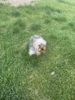 Yorkshire Terrier Puppies for sale in 801 S Cherry St, Glendale, CO 80246, USA. price: NA