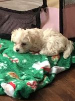 Yorkshire Terrier Puppies for sale in Elmira, NY, USA. price: NA