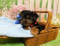 Yorkshire Terrier Puppies for sale in Biloxi, MS, USA. price: NA