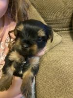 Yorkshire Terrier Puppies for sale in Russellville, AR, USA. price: NA