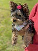 Yorkshire Terrier Puppies for sale in Cuddebackville, NY 12729, USA. price: NA