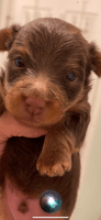 Yorkshire Terrier Puppies for sale in Lafayette, TN 37083, USA. price: NA