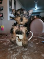 Yorkshire Terrier Puppies for sale in Riverside, CA 92509, USA. price: NA