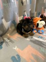 Yorkshire Terrier Puppies for sale in Mehalia Dr, Dallas, TX 75241, USA. price: NA