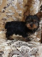 Yorkshire Terrier Puppies for sale in Jackson, MS, USA. price: NA